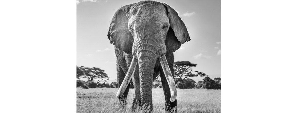 Avec ses défenses exceptionnelles, Ulysse est la mascotte du parc national d'Amboseli, au Kenya (Afrique). Lorsqu'Harry Skeggs l'a croisé, il a sorti son appareil photo pour mettre en valeur la taille imposante de l'animal. Photo : Harry Skeggs / World Nature Photography Awards