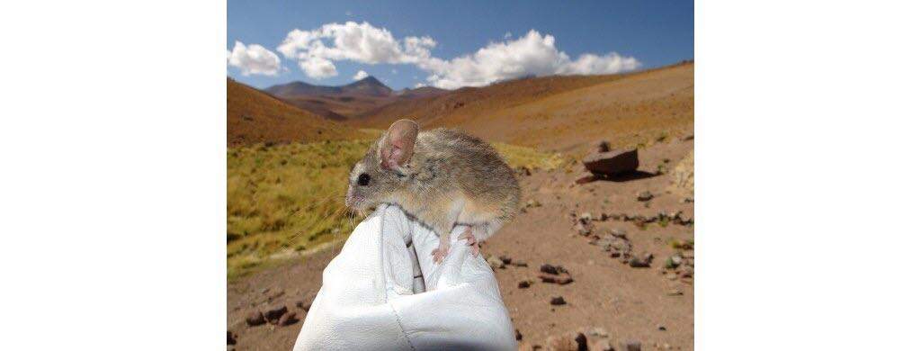 Balèze la souris du Chili