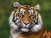 Bonnes nouvelles : les tigres résistent