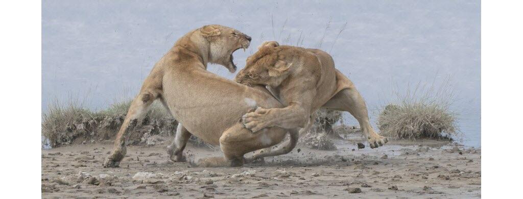 Ces deux lionnes ne font pas partie du même groupe. Et chacune essaie de chasser l'autre. Cette scène a été capturée dans la plaine du Seregenti, située entre le Kenya et la Tanzanie (Afrique). Photo : Patrick Nowotny / World Nature Photography Awards