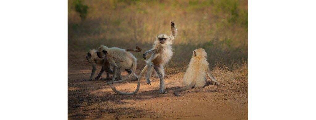 Ce singe langur, photographié dans une réserve en Inde (Asie), est un sacré danseur ! Photo © Sarosh Lodhi