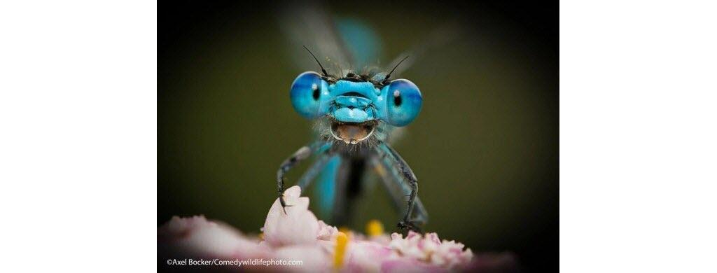 """""""Youpi, c'est mercredi !"""" Pas de doute, cette libellule est absolument ravie ! Photo © Axel Bocker"""
