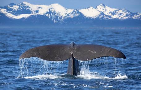 Les baleines ont la paix