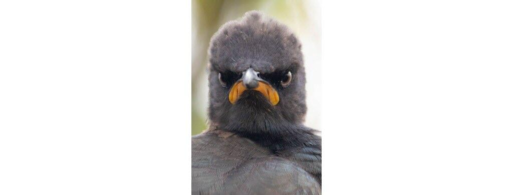 On dirait qu'il s'est levé du mauvais pied, ce spréo bicolore, petit oiseau qui ne vit qu'en Afrique du Sud. Photo © Andrew Mayes
