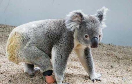 Un koala à 3 pattes