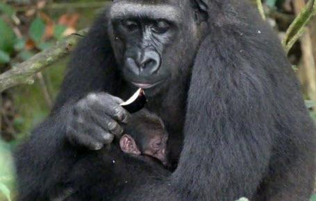Un bébé gorille plein de promesses