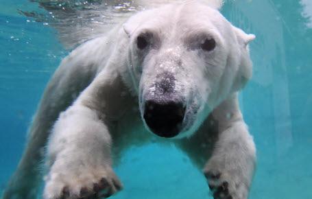 Ça chauffe pour les ours polaires