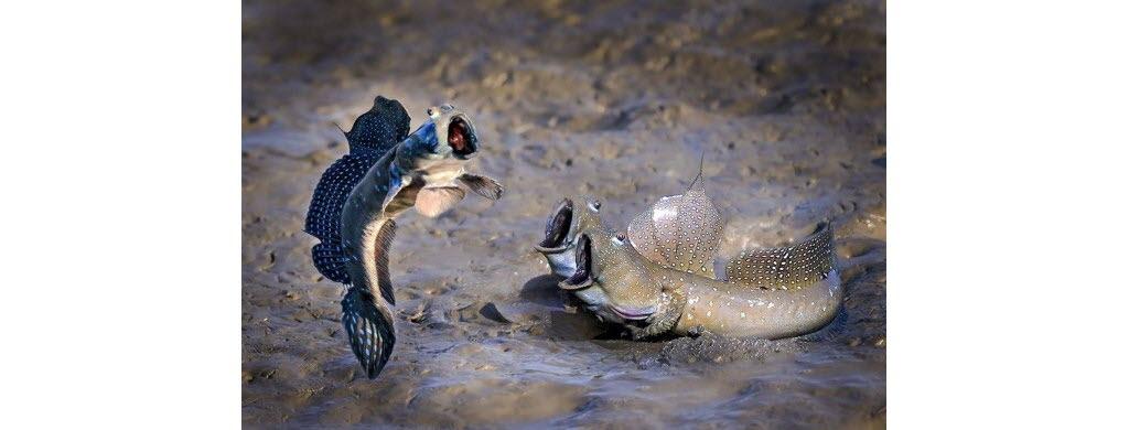 Concours de saut en hauteur chez les boléophtalmes, ces poissons asiatiques vivant le plus souvent hors de l'eau. Photo © Chu Han Lin
