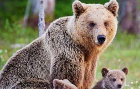 Record d'oursons dans les Pyrénées