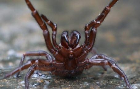 Australie: l'invasion des araignées