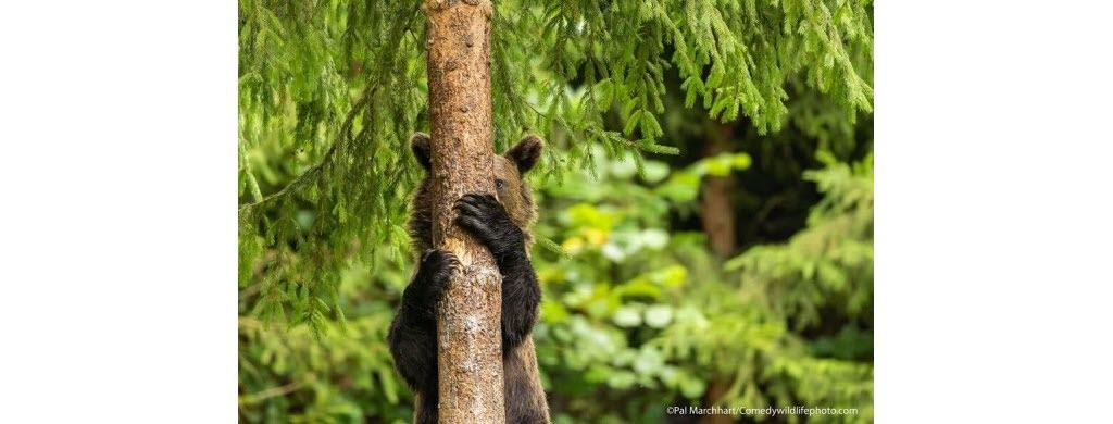 Et on termine par une partie de cache-cache. D'après toi, qui va gagner entre cet ours brun en Roumanie (Europe de l'Est)… Photo © Pal Marchhart
