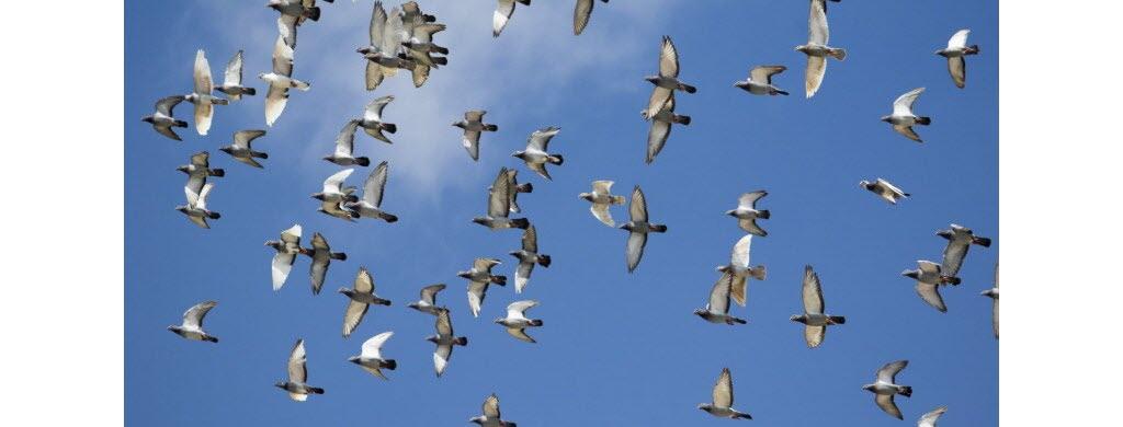 Le pigeon voyageur, super-oiseau de course