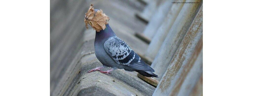 … Et ce pigeon britannique ? Photo © John Speirs