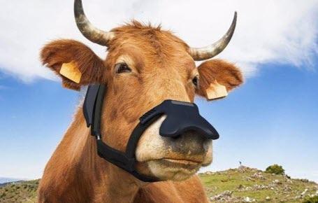 Des vaches masquées ?
