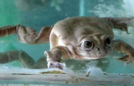 Des grenouilles géantes qu'il faut sauver