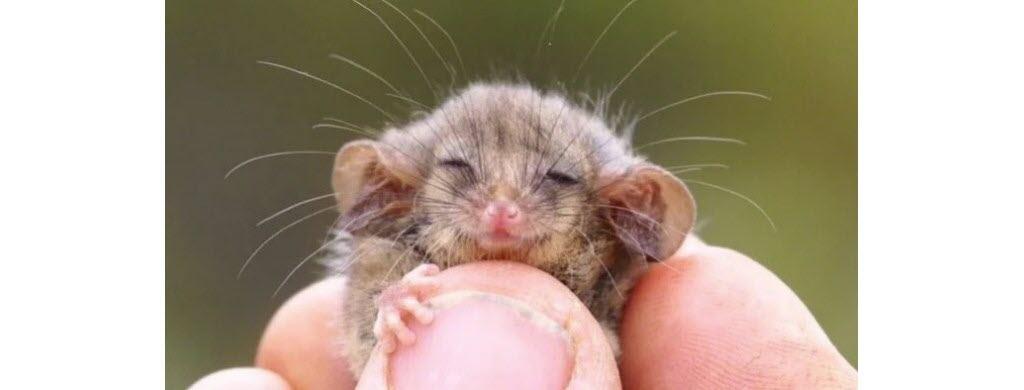 Un opossum pygmée. (© Kangarou Island Land for Wildlife)