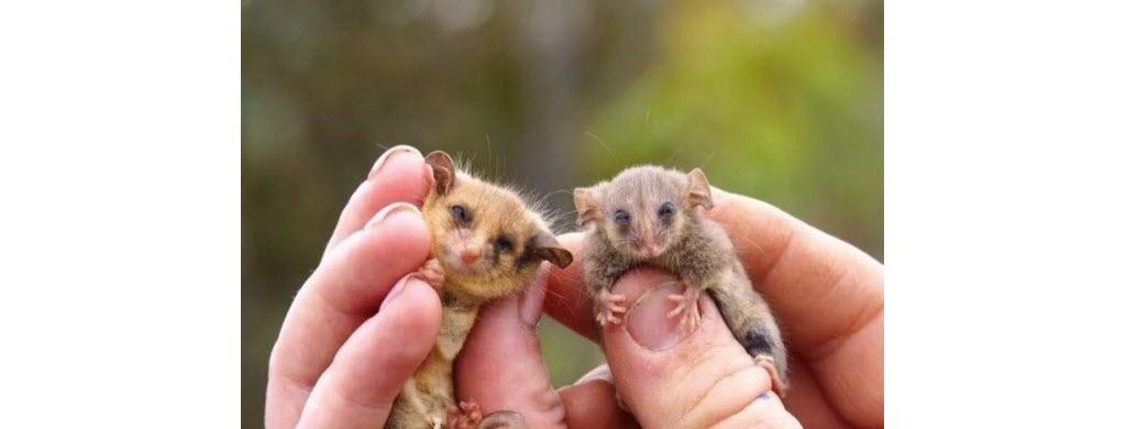 Les opossums pygmées ont des yeux attendrissant… (© Kangarou Island Land for Wildlife)