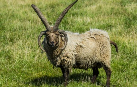 Fin du mystère des moutons à 4 cornes