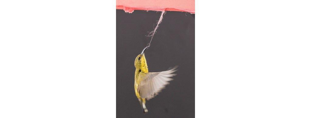Ce petit oiseau chanteur était en train de tirer le fil d'une bande de tissus pour le ramener à son nid, quand Lawrence Worcester a décidé de le photographier. Photo : Lawrence Worcester / World Nature Photography Awards