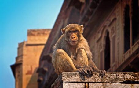 Inde : il y a trop de singes à New Delhi
