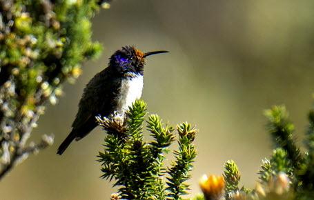 Ce colibri a un chant unique