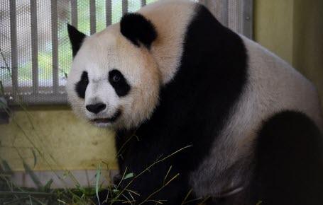 Zoo : Huan Huan attend des jumeaux