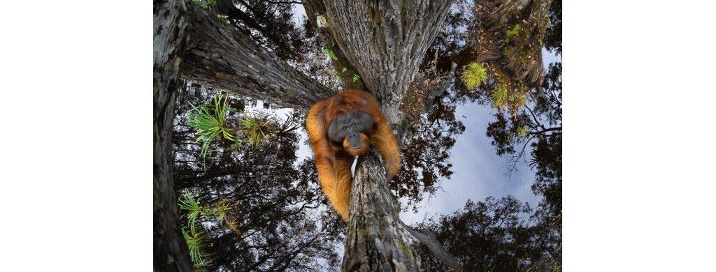 Cette incroyable photo d'orang-outan a été prise au Tanjung Puting National Park situé sur l'île de Bornéo, au sud-est de l'Asie. Elle a gagné le premier prix général du concours. Photo : Thomas Vijayan / World Nature Photography Awards