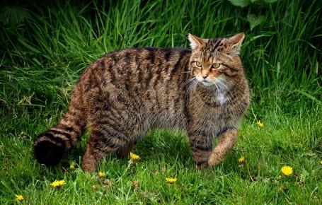 Le chat sauvage d'Ecosse est en danger