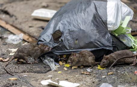 Du neuf pour chasser les rats