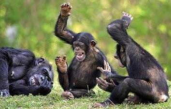 Rire de bébé = rire de singe
