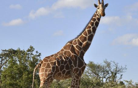 Le Kenya compte ses animaux