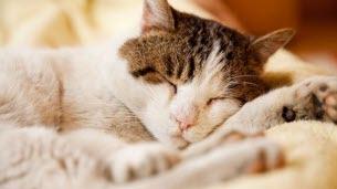 Le chat, un grand dormeur