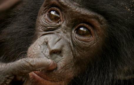 Le bonobo a-t-il bon goût?