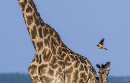 Chez les girafes, c'est maman qui commande!
