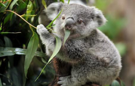 Koalas: souriez, vous êtes filmés!