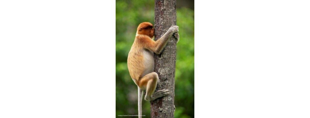 Sur l'île de Bornéo (Asie), ce singe nasique aime tellement son arbre qu'il lui fait un énorme bisou. Photo © Jakub Hodan