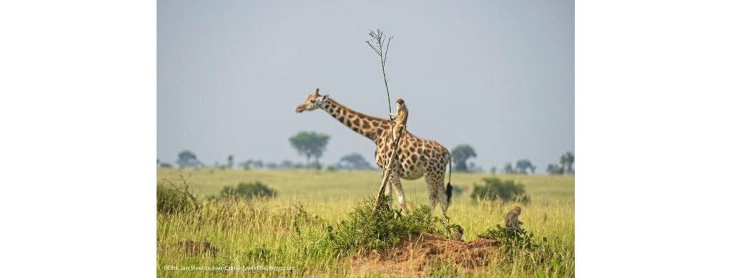 Et c'est parti pour une petite balade à dos de girafe dans la savane ougandaise (Afrique) !  Photo © Dirk-Jan Steehouwer