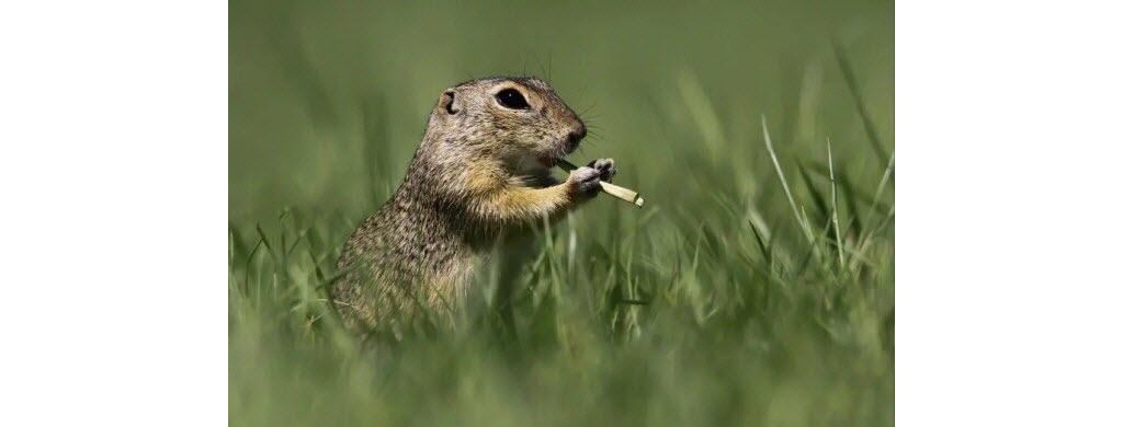 Dans sa prairie hongroise (Europe centrale), ce spermophile, petit rongeur cousin de la marmotte, s'est mis à la flûte ! Photo © Roland Kranitz